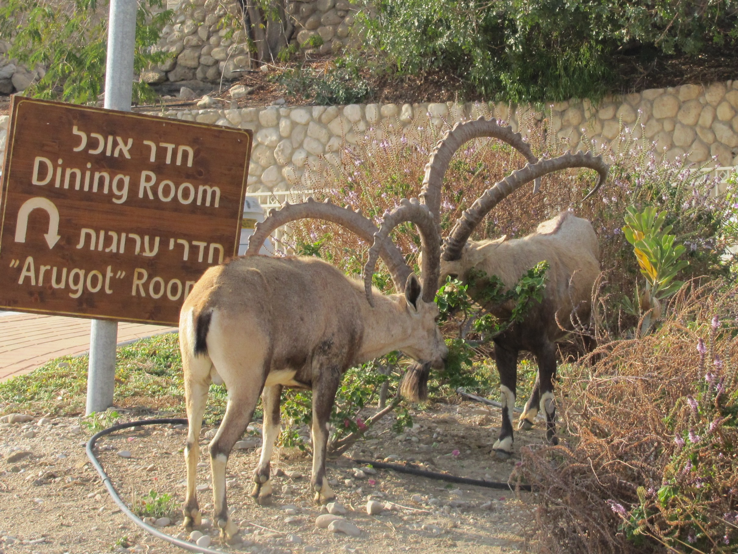 Ibex at Ein Gedi resort on the shores of the Dead Sea in Israel